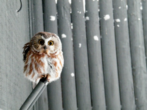 photography of a cute and fluffy baby owl, animal, bird, photo image