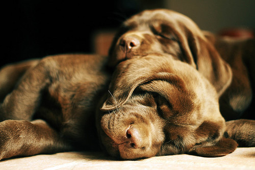 dogs, sleeping, puppy, animal, photography, photo