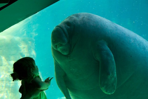 First contact - a little girl and a sea elephant sea cow manatee aquarium photography cute animal nature, wildlife zoo child ocean