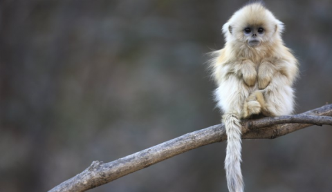 golden snub-nosed monkeys Stumpfnasenaffen Rhinopithecus cute fluffly monkey sitting on a branch photography wildlife animal nature photo image tumblr adorable
