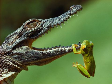 "'Hanging on""  - wildlife photograph of a frog hanging on the mouth of a small crocodile. nature animal photography photo image tumblr funny dangerous teeth green frog aligator"
