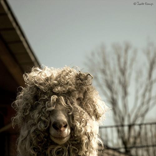 animal sheep schaf wildlife photo photography image funny cute hairy fur photograph image