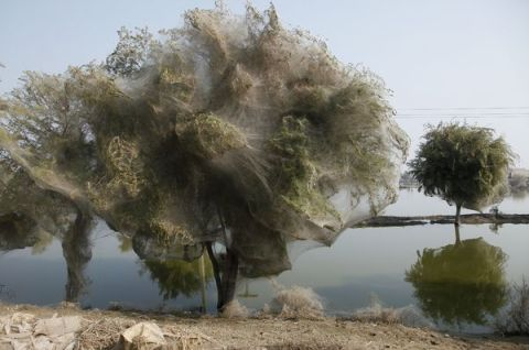 Trees Cocooned in Webs After Flood spides pakistan photography photograph image
