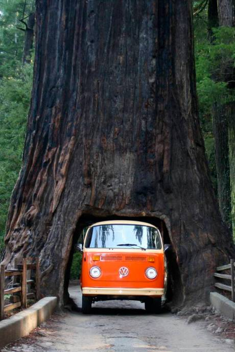 VW Bus driving through a large tree in forest  travel roadtrip photography photo car bus vintage cool tunnel tree drive through