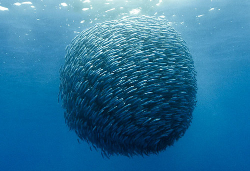 diving fish swarm under water underwater ocean sea deep blue collective intelligence