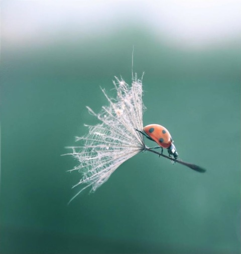 Hitchhiker road trip hitch hike lady bug marienkäfer flower flying hovering air flowing plant lady bug on grass blossum amazing macro photography photograph wildlife natur
