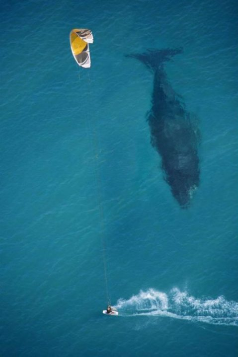 stunning mike swaine whale kite surfing animal nature sea ocean water diving photography photo amazing cool image photo underwater whale wal kite wind surfing surfer