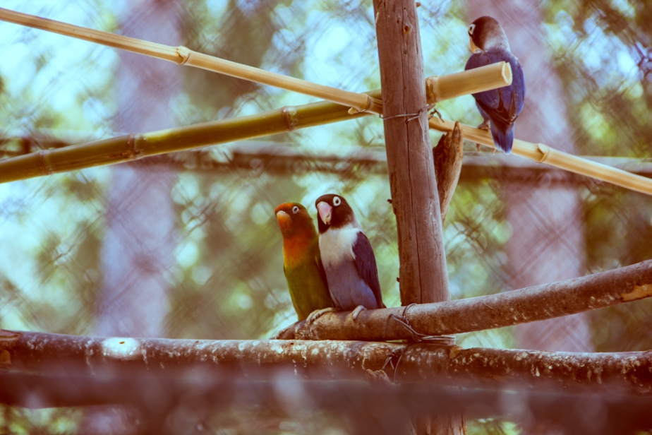 bird animal small mini baby parrots wildlife exotic wild colourful small parrot pair love birds zoo sitting branch travel holiday summer