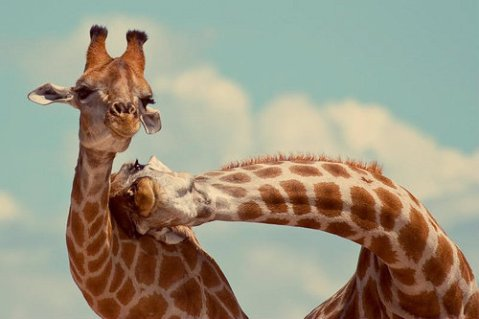 giraffes animal cute adorable photograph wildlife photography zoo africa safari