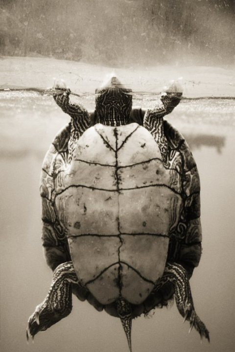 Texas Map Turtle, Graptemys versa under water floating funny cute image photograph photography wildlife national geographic