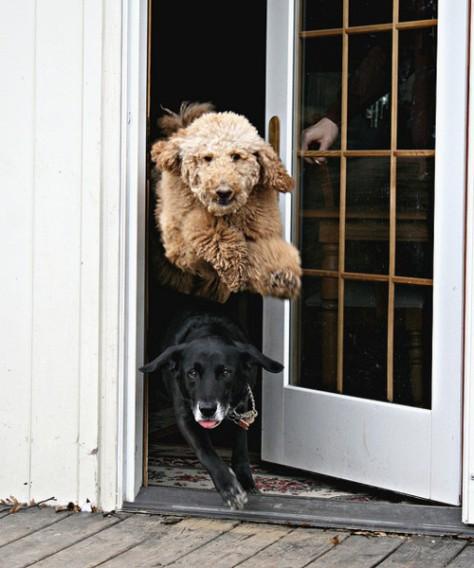 hovercraftdoggy dog doggy cute puppy fluffy running sprinting flying jumping dog thorugh door photography photo image