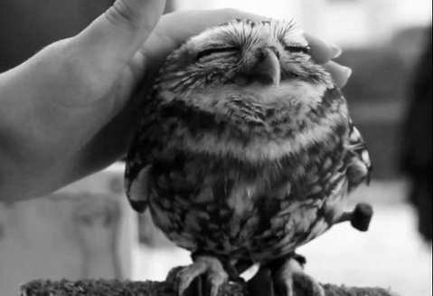 black and white photograph of a cute baby owl lovely owl animal fluffy beautiful small strocking petting pet bird wildlife photography ohh tumblr image photo