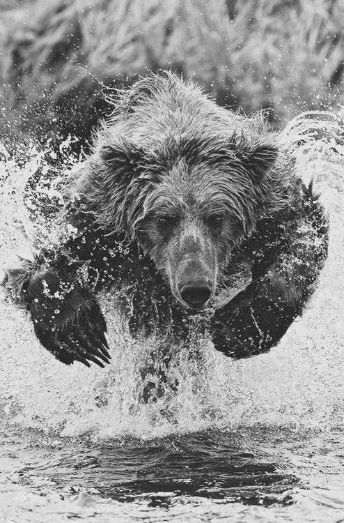 animals, wildlife, alaska, destination, brown bear, photography, running, wild, animals, nature, black and white photograph of a brown bear