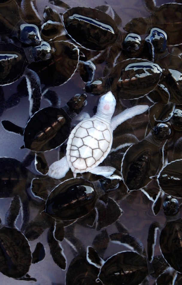 white baby turtle in a turtle pack of black turtles, albino turtle, animal, water, underwater, wildlife, nature, photography, photo