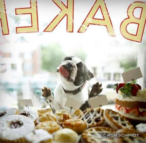 funny dog diggy puppy cute amazing ridiculous fun dog licking glass shopping window of bakery animal food eating  humor