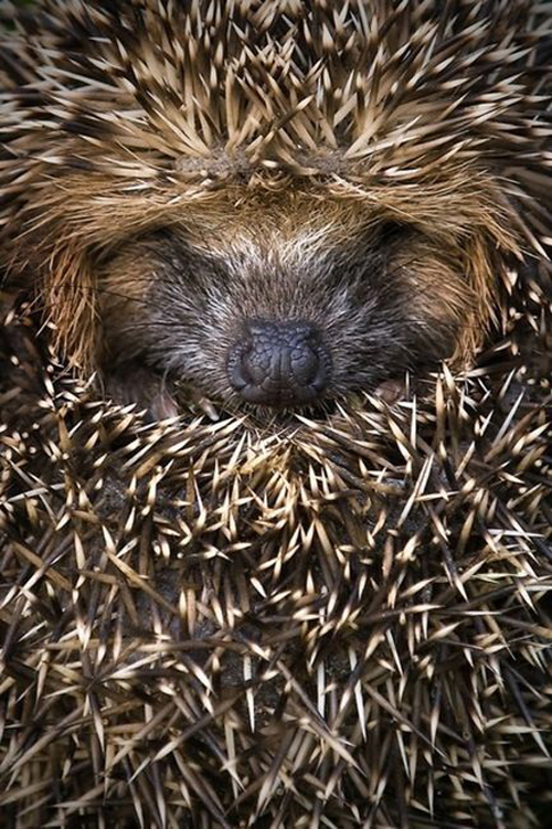 hedgehog animal cute igel wildlife fluffy cute animal photo images photography cuddling spikes skin fur