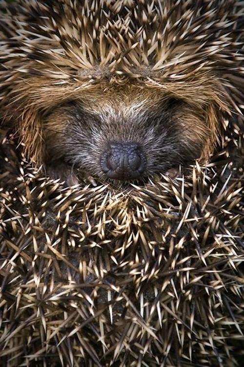 hedgehog animal cute igel wildlife fluffy cute animal photo images photography cuddling spikes skin fur