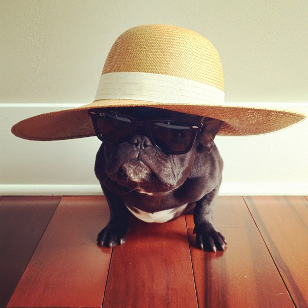 Trotter Sonya Yu San Fransisco doggy, puppy cool hat ray ban sunglasses wayfarer french bulldog fashionable pit bull puppy wooden floor fashion photography photos animals pet funny cute adorable