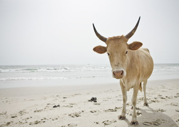 animal cow photograph wildlife photography beach sea sand funny cute photo animal