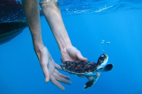 cute small baby turtle being released into the water ocean swimming adorable blue wildlife award photography travel nature blog great wordpress tumblr