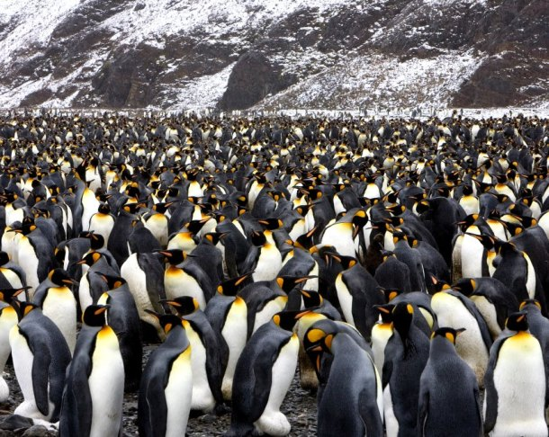 king penguins fortuna bay antarctica animal nature wildlife landscape photography blog tumblr wordpress best great stunning photograph travel photographer