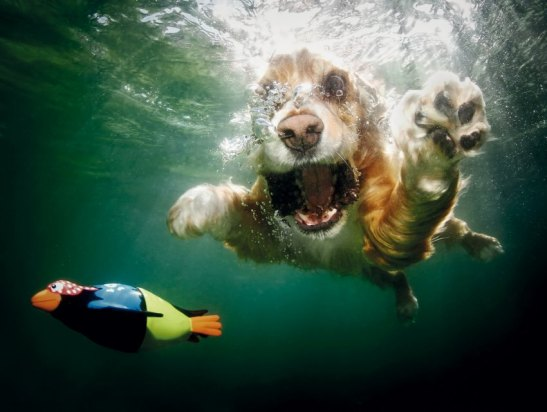 From the water's surface, it's a simple exercise: a dog's leap, a splash, and then a wet head surfacing with a ball, triumphant.  But beneath the water is a chaotic ballet of bared teeth and bubbles, paddling paws, fur and ears billowing in the currents. From leaping lab to diving dachshund, the water is where a dog's distinct personality shines through; some lounge in the current, paddling slowly, but others arch their bodies to cut through the water with the focus and determination of a shark.  In more than eighty portraits by award-winning pet photographer and animal rights activist Seth Casteel capture new sides of our old friends with vibrant underwater photography that makes it impossible to look away. Each image bubbles with exuberance and life, a striking reminder that even in the most loveable and domesticated dog, there are more primal forces at work. In Underwater Dogs, Seth Casteel gives playful and energetic testament to the rough-and-tumble joy that our dogs bring into our lives.