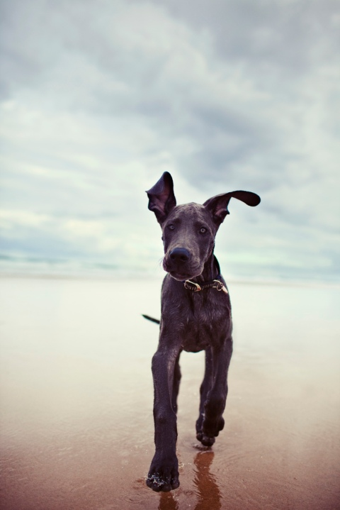 32flavours5-running black dog black great dane puppy running along the coast puppies cute cost blue sky cloudy photograph photography entertaining amazing sweet animals dogs life nature landscape beautiful beach