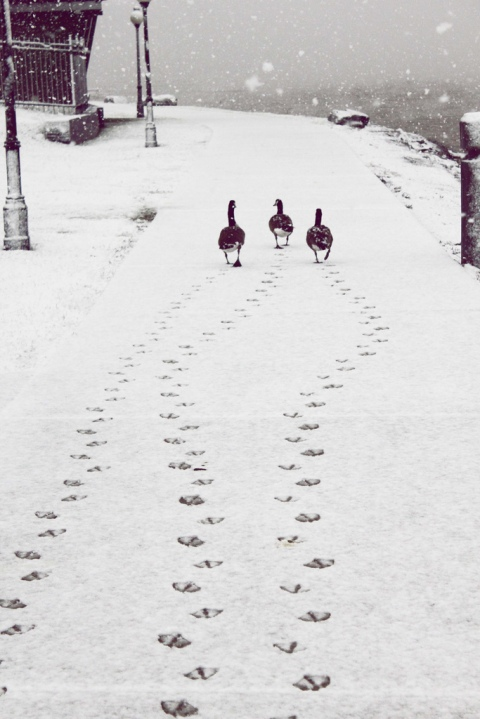 32flavours6 - ducklings walking in the snow goodmorning christmas love romantic walk cosy cute ducklings in love photography photo winter snow first snow
