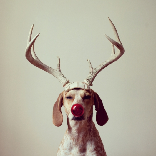 cute christmas dog reindeer dress red nose costume horns super cute adorable dog photography funny