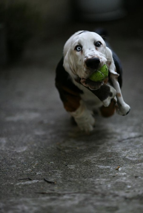 dog puppy animal photography funny cute adorable dog chasing a tennis ball