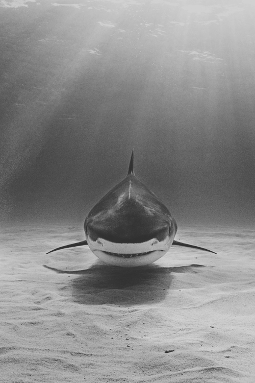 waiting shark fish underwater photography scary white shark image ocean sea light prey hunting shark hunt fish