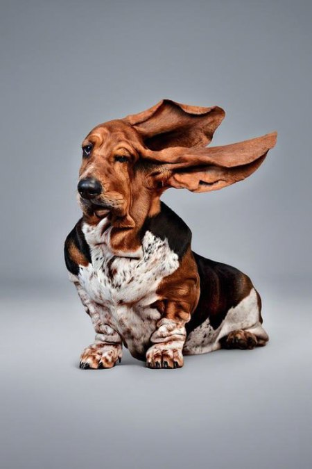 funny dog wind photography Blowing Ears by Erik Hagman  Basset dog with blowing ears. wind tunnel funny animal dog photography