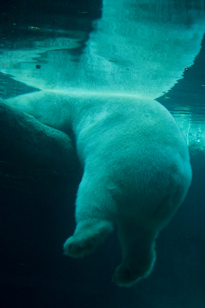 polar ice bear hanging underwater photography cute