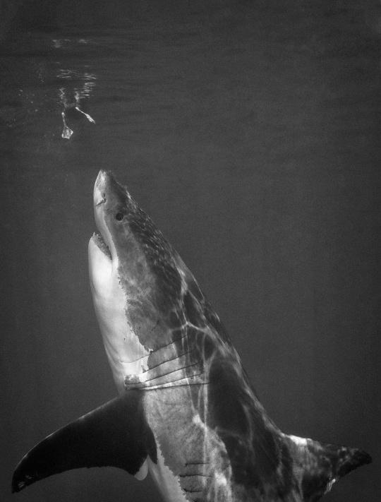 shark underwater black and white photography