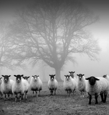 herd of sheep in fog landscape black and white photography monochromatic mono beautiful photograph group or heard of sheep standing gathered in front of a tree in the fog