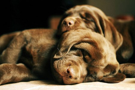 cute dog puppies sleeping labrador animal pet photography cudly fluffy super cute