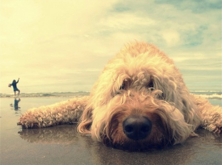 cute fluffy dog on beach puppy fur hair sand ocean funny dog lying in the sand labrador nose