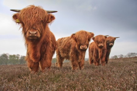 bisons animals cute scottish highland cattle breed animals fur horns photography animal photo