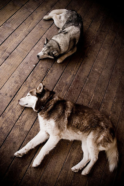 Sleeping Siberian Huskies Husky dog cute puppy pet animals