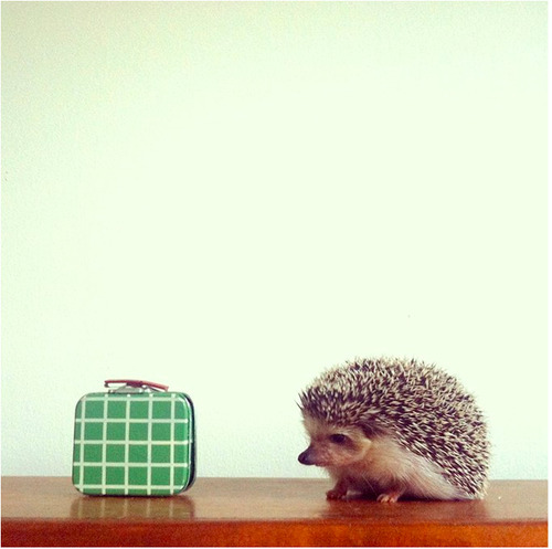 Stella Maria Baer- Hegel 's Rodeo with funny little hegel a hedgehog next to a purse, photography by stella maria bauer