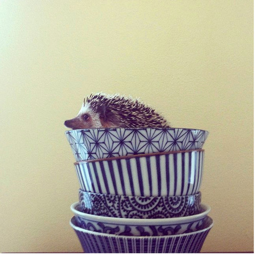 A balanced breakfast with Hegel the adorable little hedgehog inside everyday life objects interior photography fun