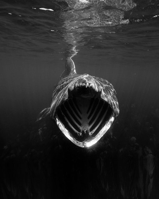Stunning and 'jaw-dropping' underwater black and white photograph of a Basking Shark