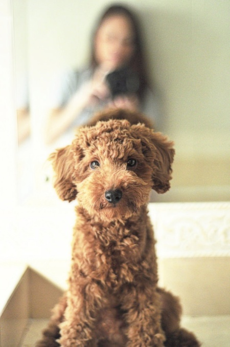 rather adorable, fluffy red labradoodle (labrador - poodle) puppy