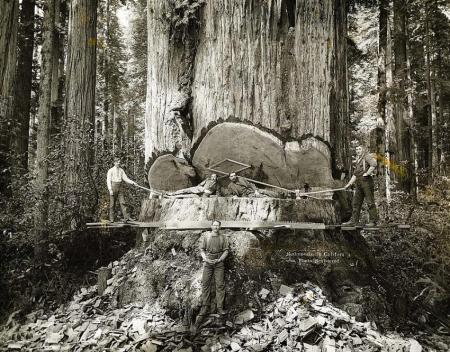 ca. 1900, Yosemite National Park, California, USA --- Cavalry and Fallen Tree Lumberjacks working among the redwoods in California