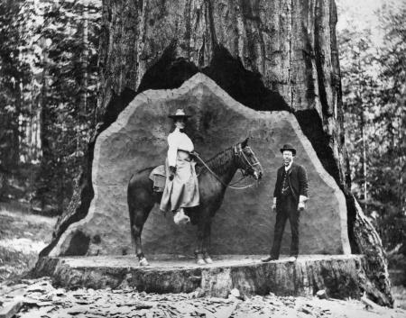ca. 1900, Yosemite National Park, California, USA --- Cavalry and Fallen Tree Man and Woman on Horseback in Redwood Undercut