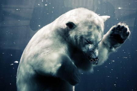 Beautiful photographs of a polar bear diving underwater