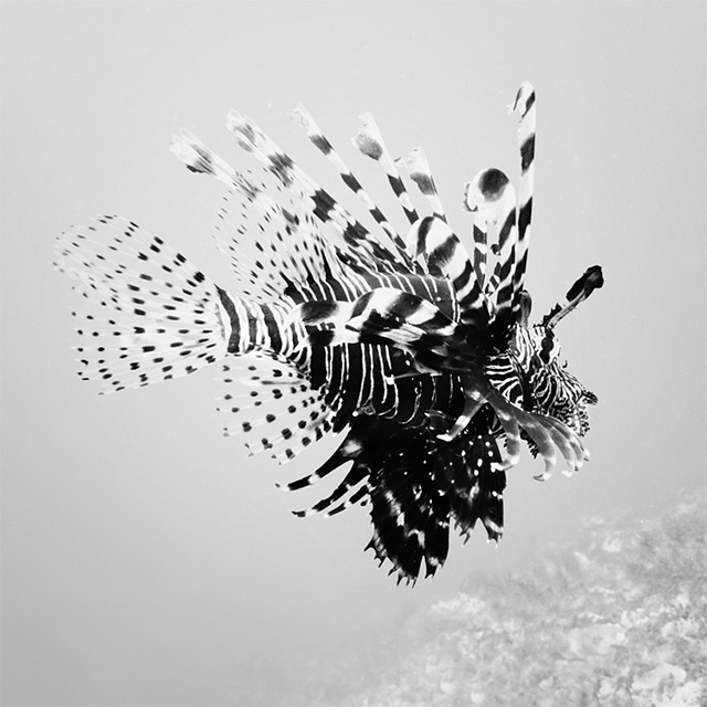 Black and White Underwater Photography by Hengki Koentjoro (7)