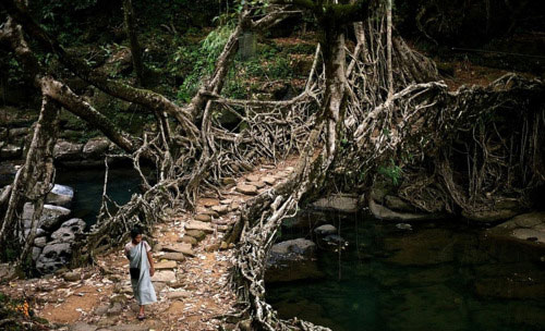 The living root bridges of Cherrapunji, Shillong, India  - century old bridges grown by the Meghalaya villagers who train the roots to create a solid latticework structure strong enough to be used as a bridge.