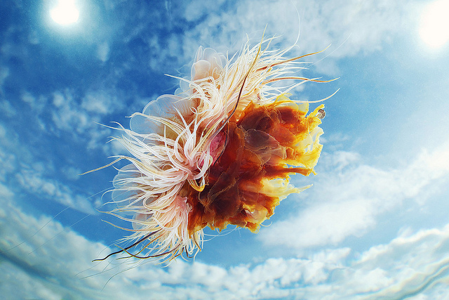 Jellyfish Photographed Against the Sky by Alexander Semenov (8)