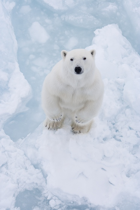 A Polar Bear - photographed by Vegard Aksnes